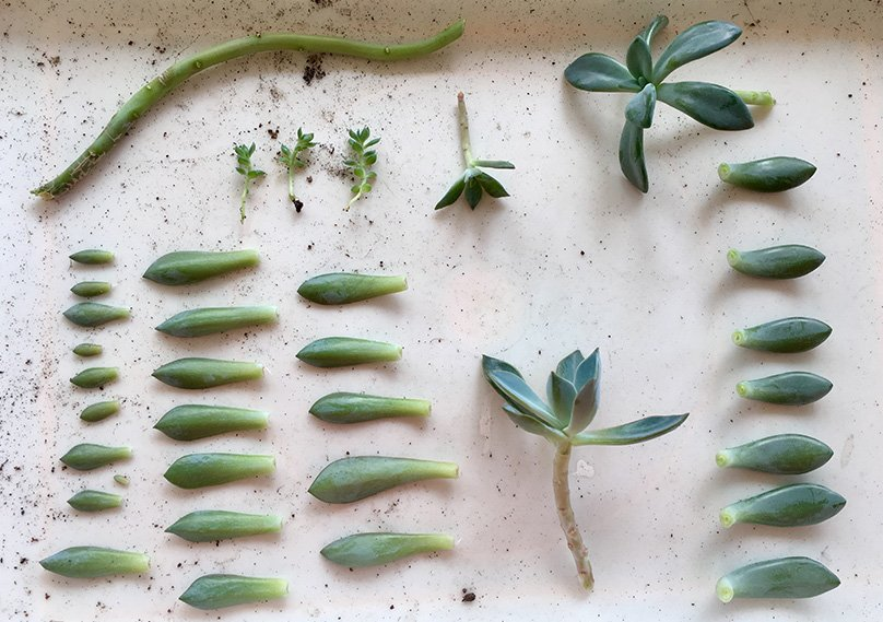 Succulent leaves for propagation