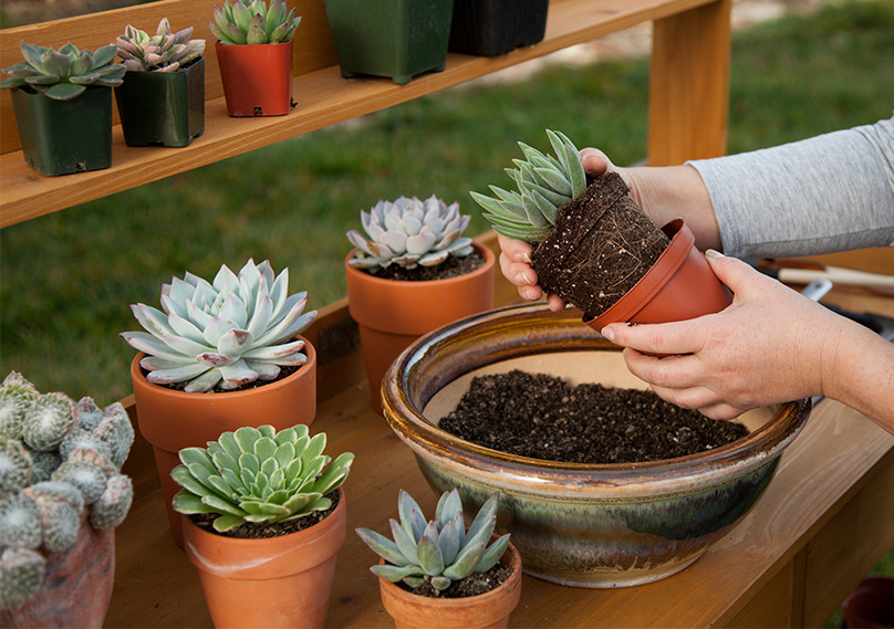 Succulents can be grown in the ground or in pots outdoors