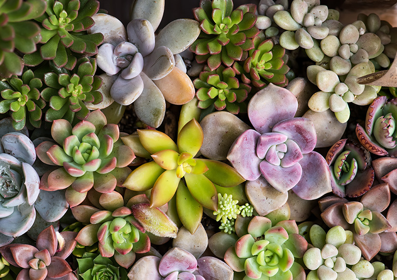 Succulents growing outside