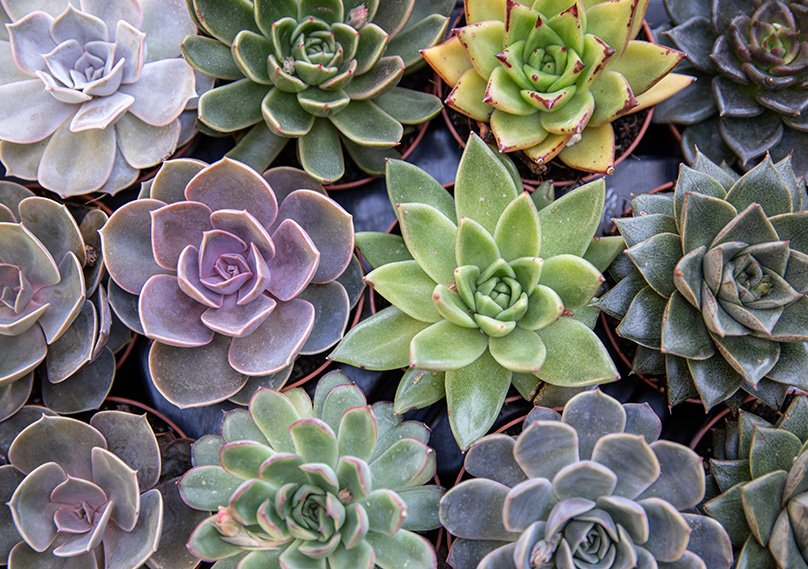 We love the look of Echeveria Elegans
