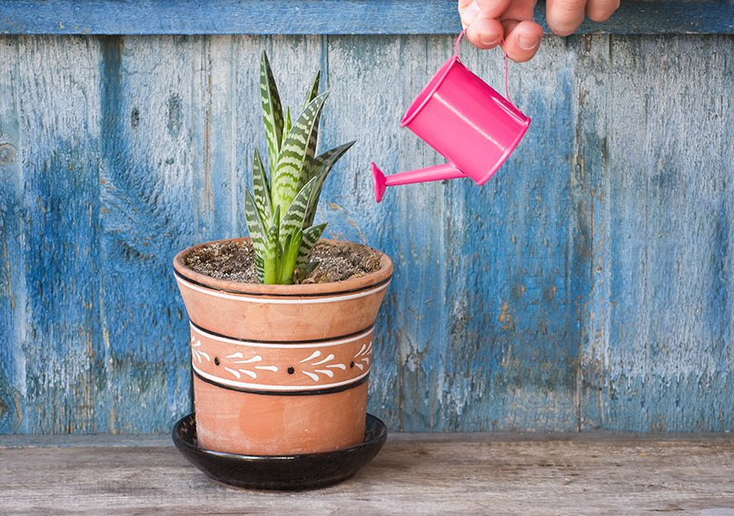 "Use the ""Soak and Dry"" Method for watering succulents"