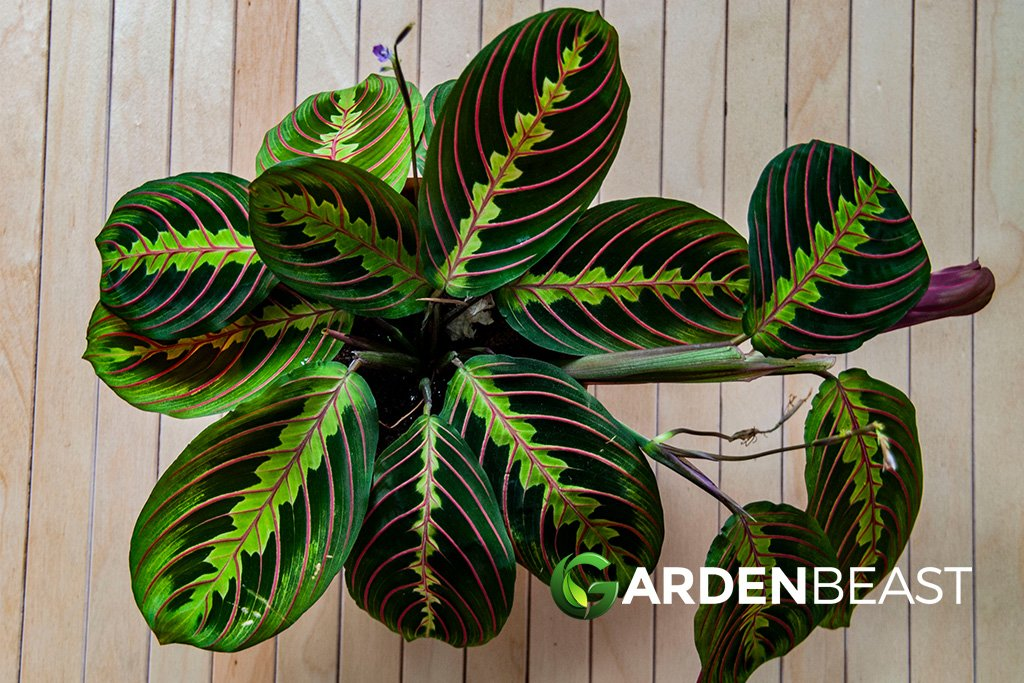 Guide To Maranta Leuconeura How To Plant Care For Prayer Plants