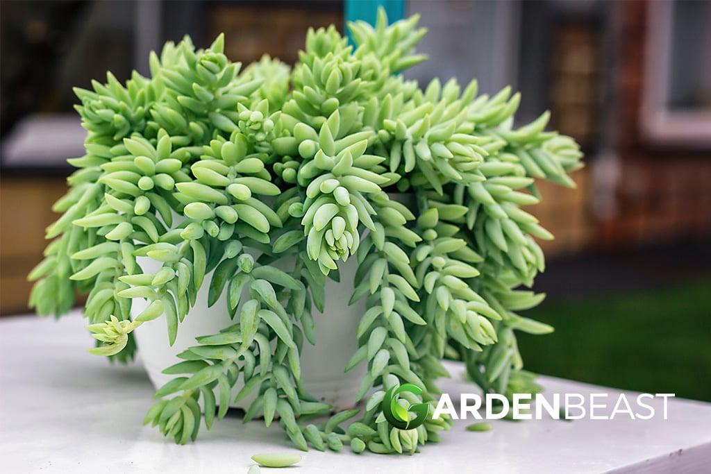 Guide To Sedum Morganianum How To Plant Care For Burro S Tail