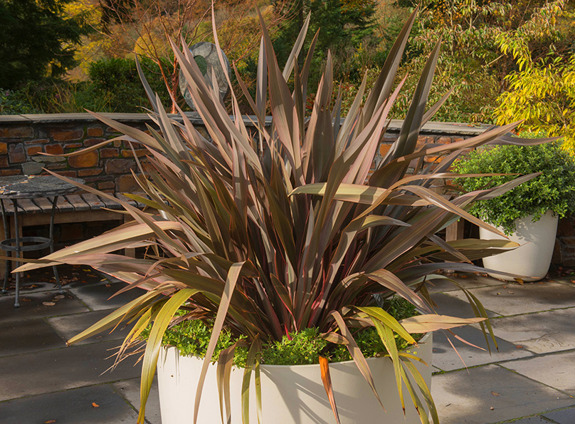 Phormium works well in containers also