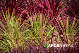 Cordyline Guide