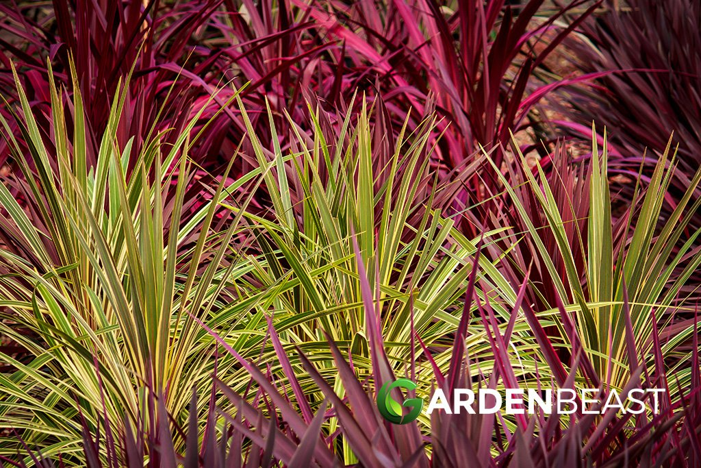 Complete Guide To Cordyline How To Plant Care For Cordyline Plants