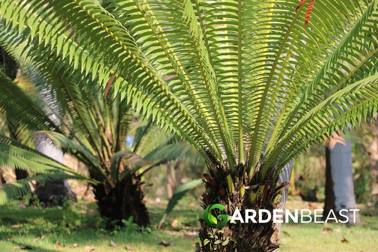 Cycad Guide