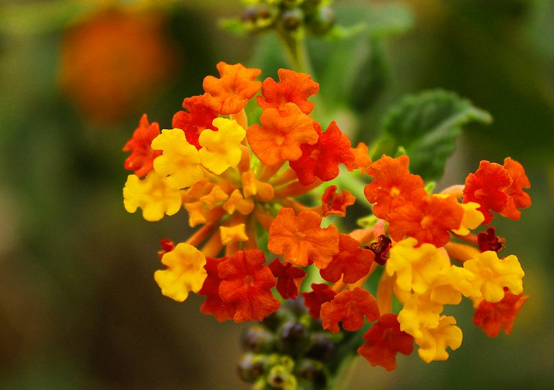 Lantanas produce striking flowers