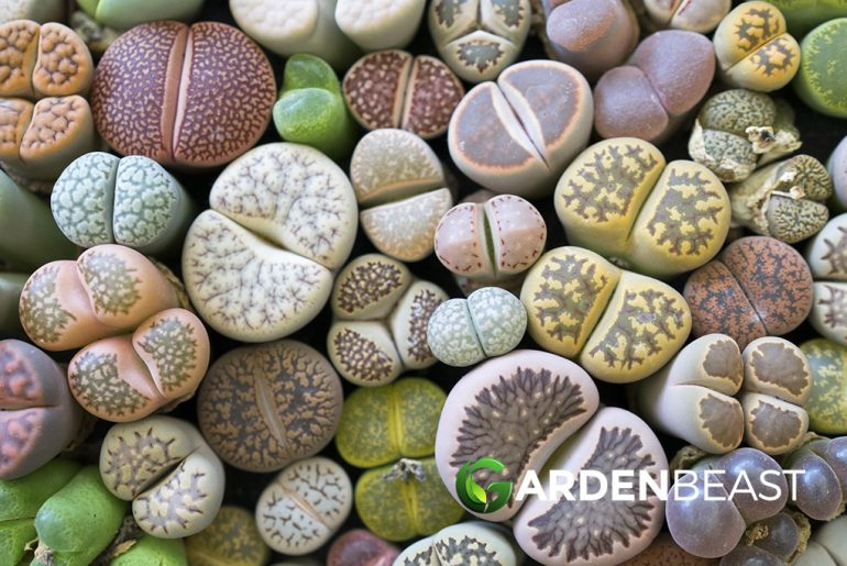Lithops Guide