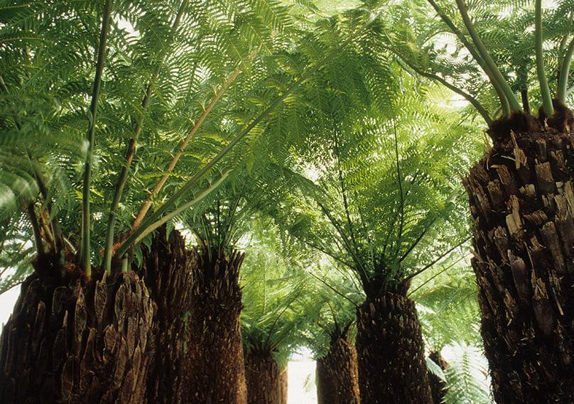 A group of mature Tasmanian Tree Ferns