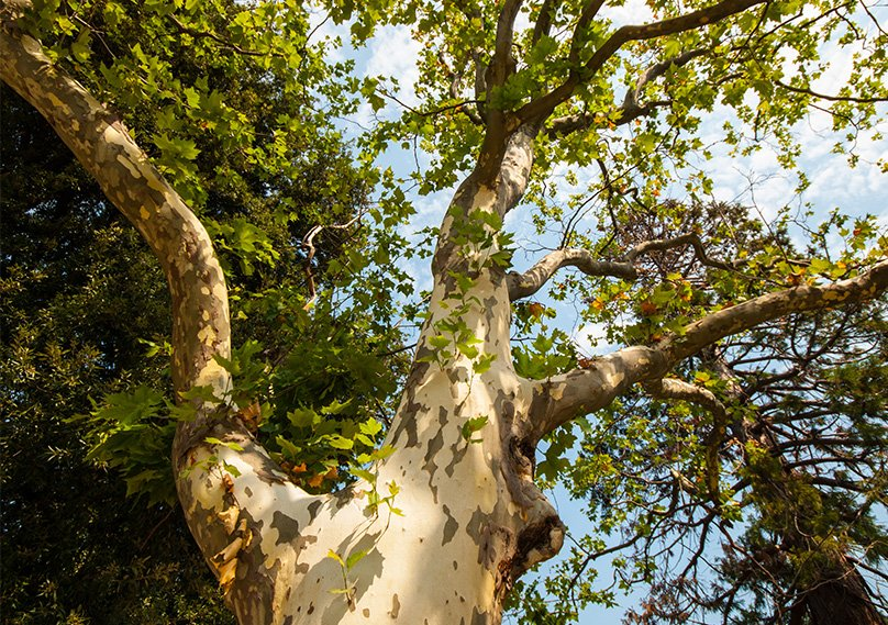 Branches of a mature Sycamore Tree