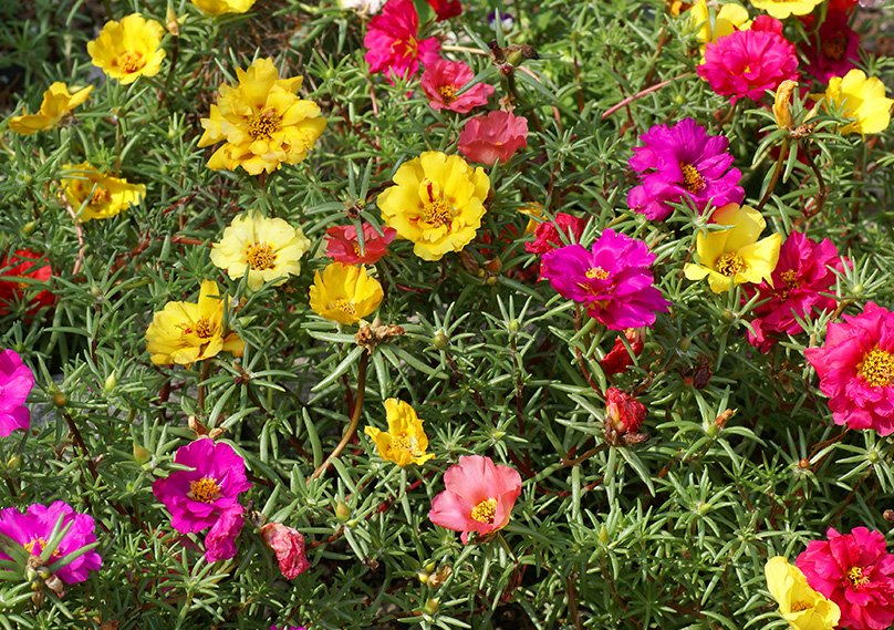 Portulaca adds beautiful colors