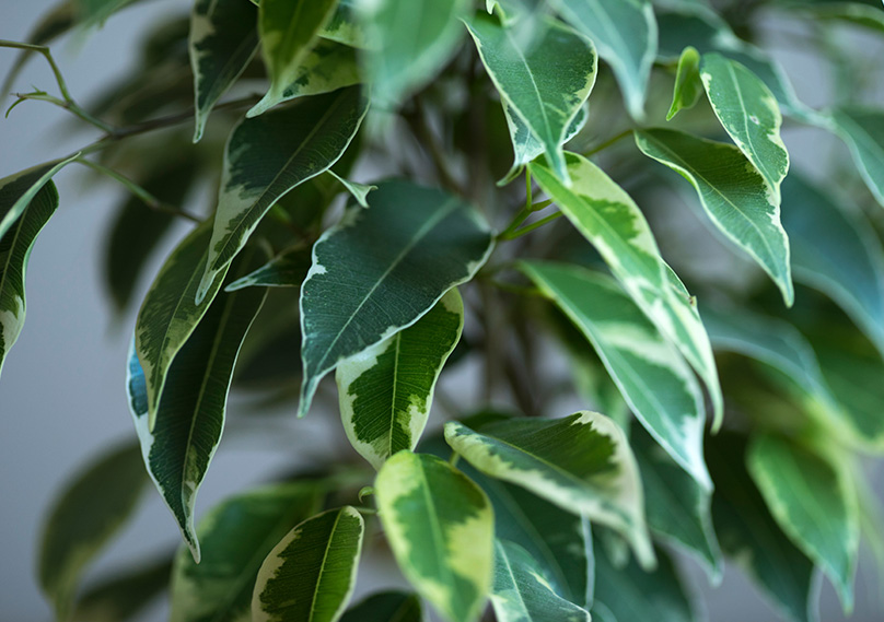 Ficus leaves
