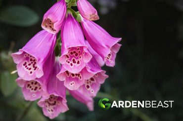 Foxgloves Guide