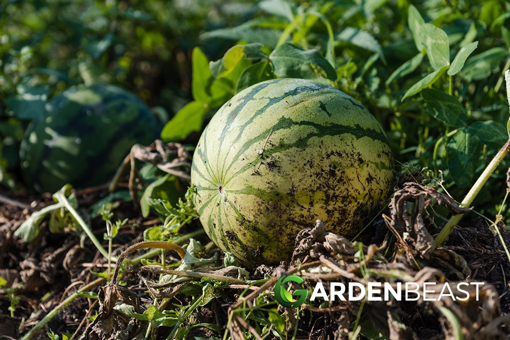 How To Plant Grow Melons Complete Guide