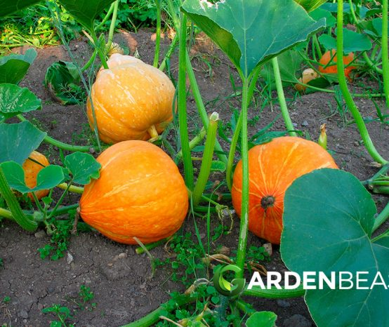 How to Plant & Grow Pumpkins: Complete Guide