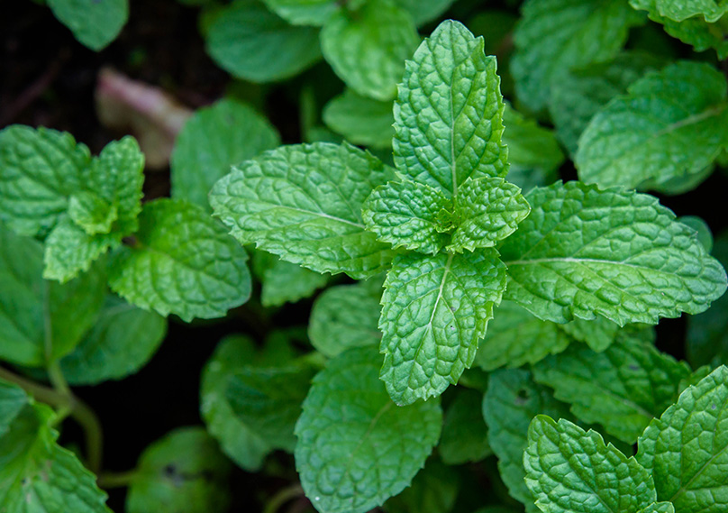 Mint plants growing