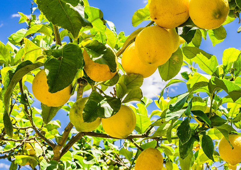 Lemon trees growing outdoors