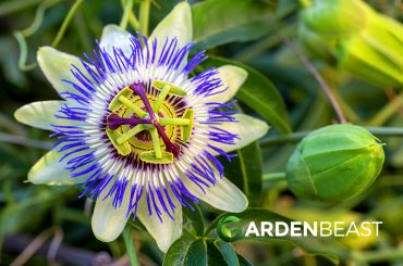 Guide to Passion Flowers