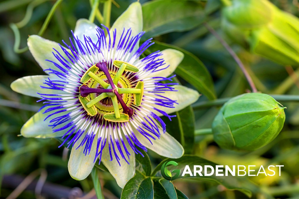Complete Guide To Passion Flowers How To Grow Care For Passiflora