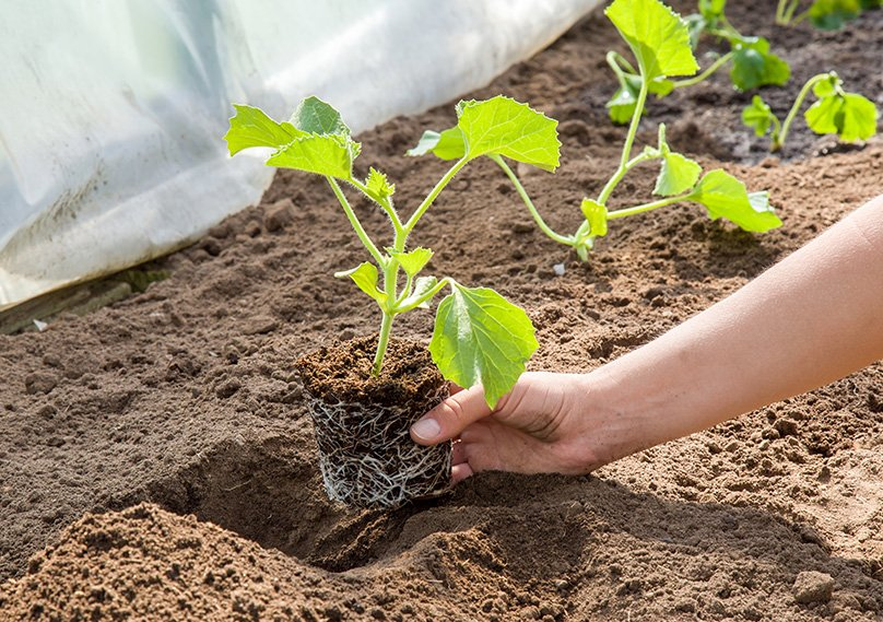 Planting Melon Seedlings