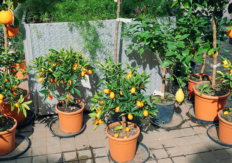 Kumquat Trees can be grown in pots