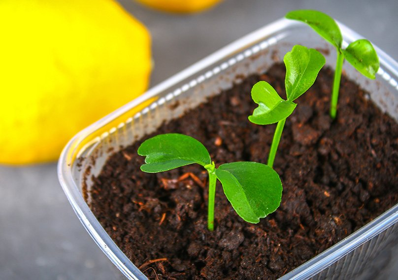 Lemon Tree Seedlings