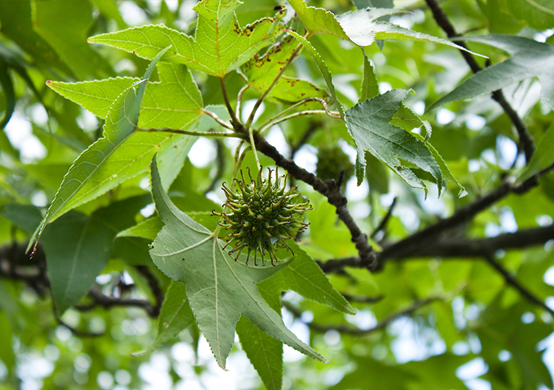 Seed pod hanging from a sycamore tree