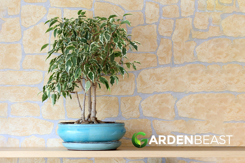Guide To Weeping Fig How To Grow Care For Ficus Benjamina