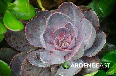 Aeonium Succulents