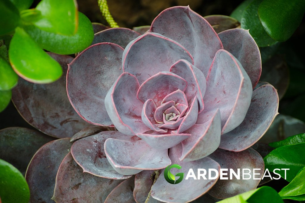 Guide To Aeonium Plants How To Grow Care For These Succulents