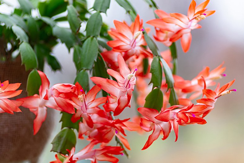 Flowers of the Christmas cactus