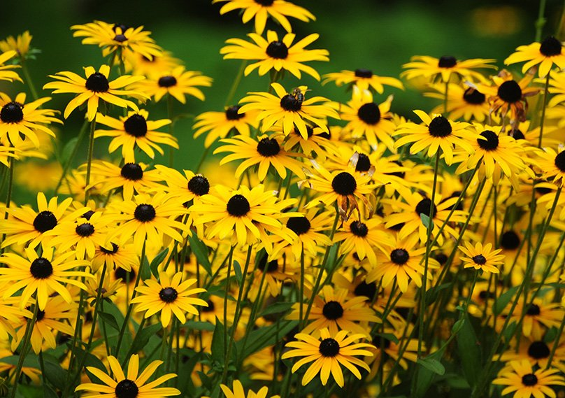 Black Eyed Susan produces a great display