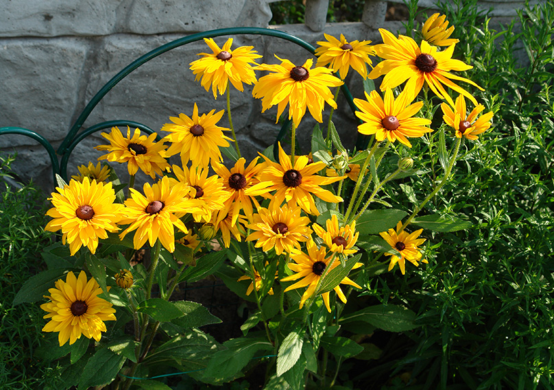 Black Eyed Susan adds color to your garden