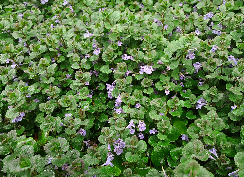 Ground Ivy is a pain