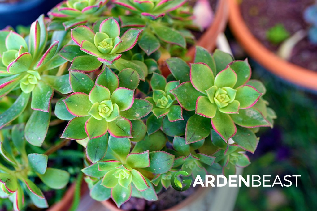 Guide To Aeonium Kiwi How To Grow Care For These Succulents