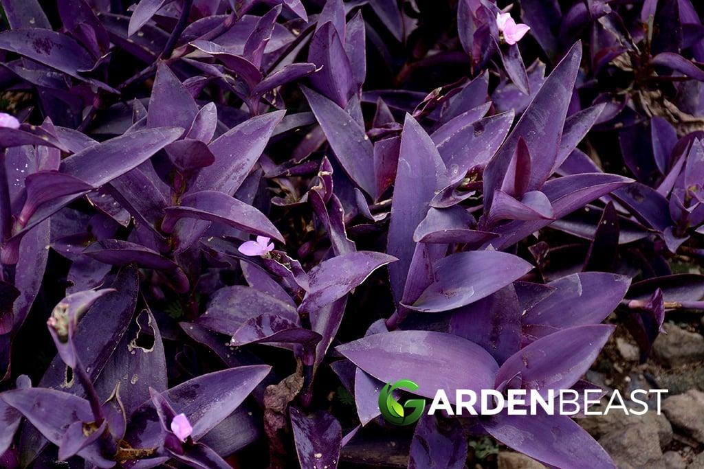 Setcreasea Pallida Purple Heart Succulent Live Plant 4 Cuttings