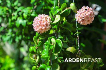 Hoya Plants Guide