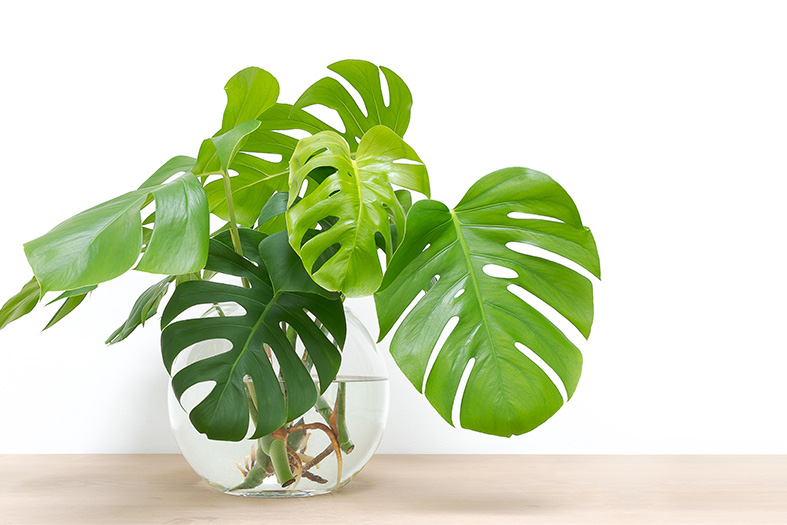 "Monstera Deliciosa aka ""Swiss Cheese Plant"""