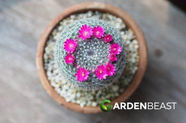 Mammillaria Cactus