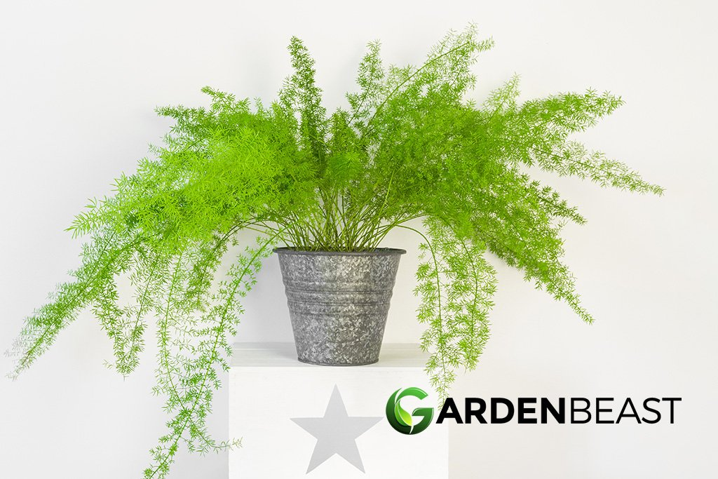 Guide To Asparagus Fern How To Grow Care For Asparagus Aethiopicus