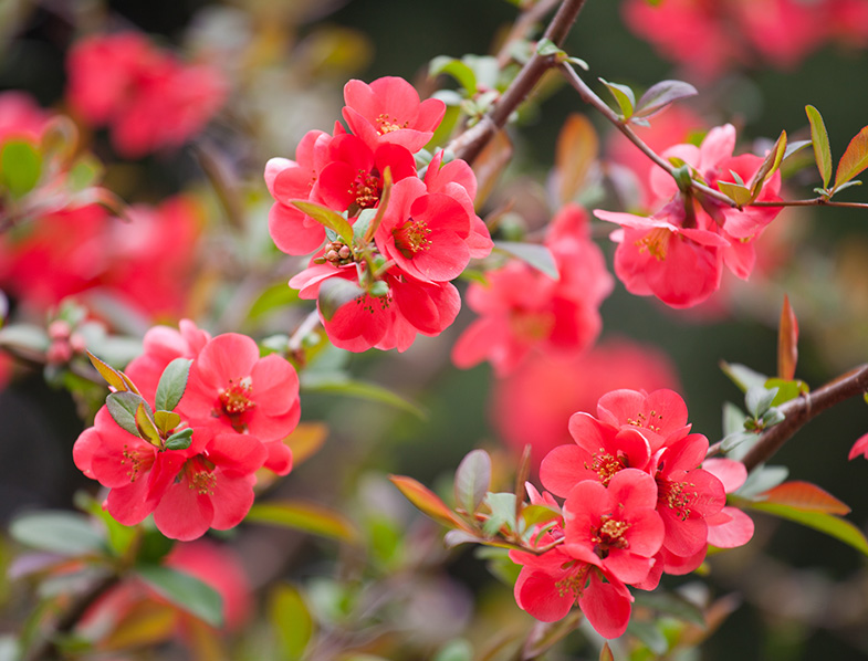 The Flowering Quince Bush