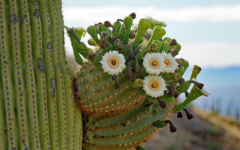 Closeup of the Saguaro Cactus