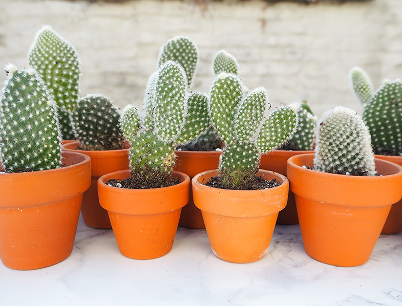 A collection of opuntia microdasys cactii