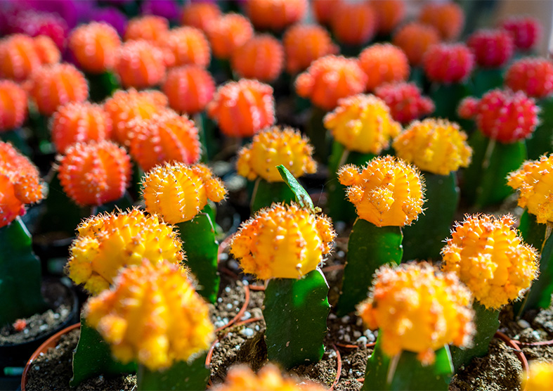 Colorful Moon Cactii
