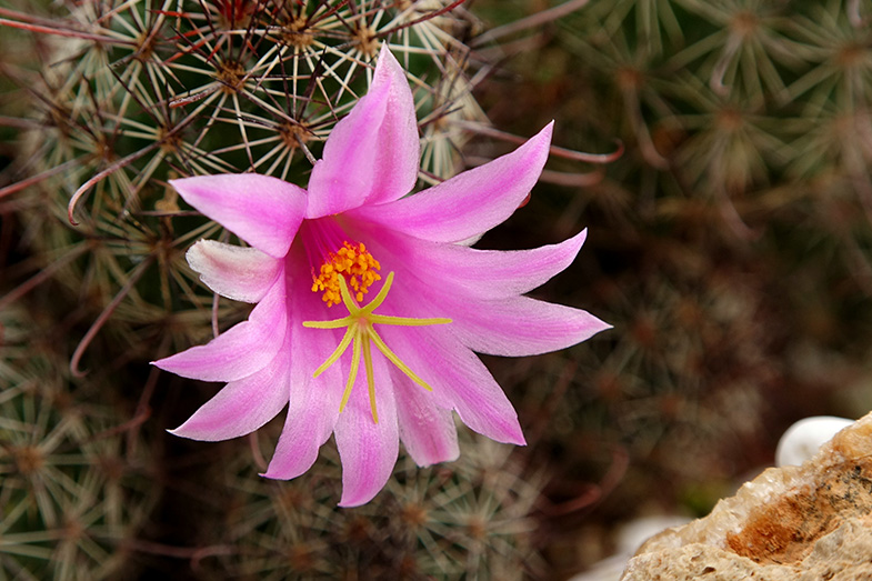 Flower of the Pincushion Cactus