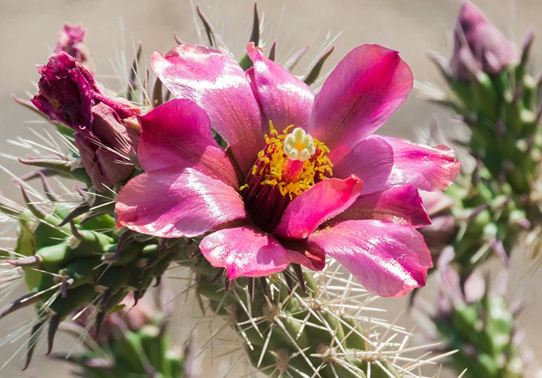 Flower on the Cholla Cactus