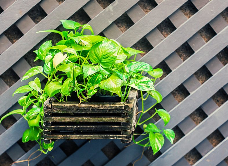 Pothos works well in baskets