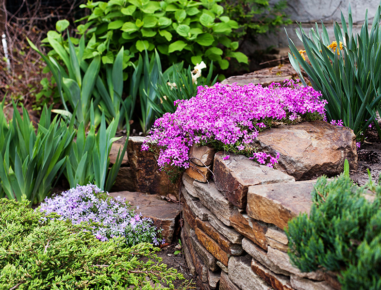Creeping phlox provides ideal ground cover