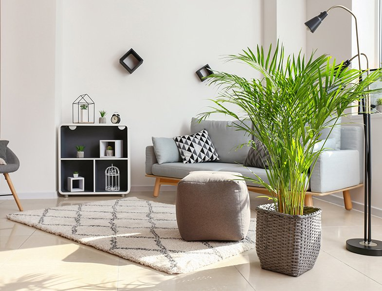 Areca palms look great indoors